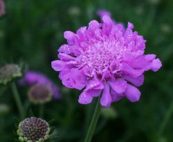 Scabiosa columbaria 'Pink Mist' bloom