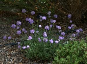 Scabiosa columbaria_Pincushion Flower_CarnegieLib-CoSpgsCO_LAH_9998