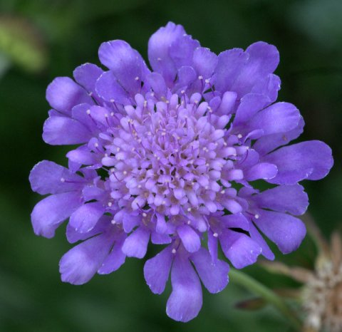 Scabiosa - Pincushion Flower_XG_LAH_7052