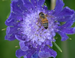 Scabiosa - Pincushion Flower_XG_LAH_7064