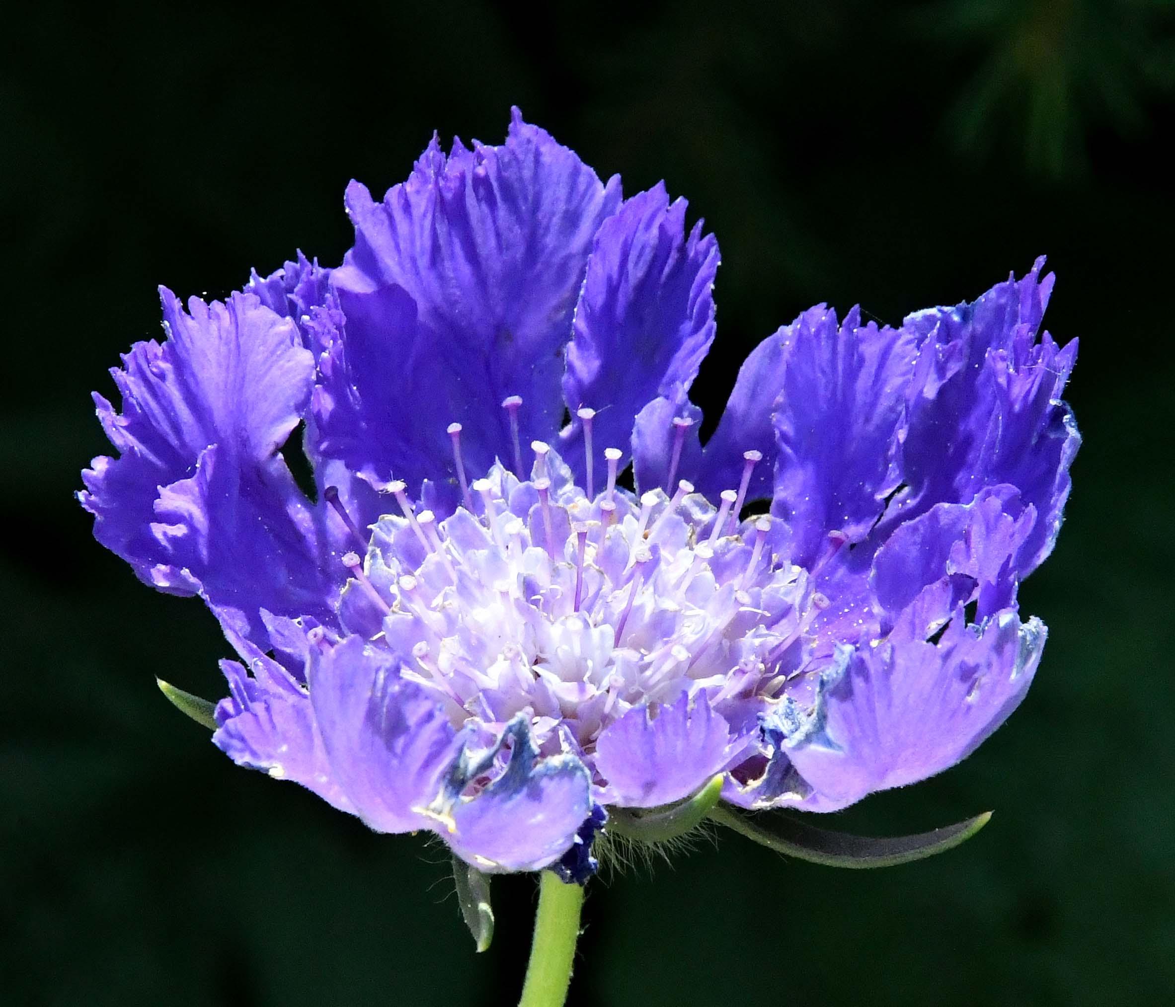 Scabiosa_Pincushion Flower_DBG-CO_LAH_7349