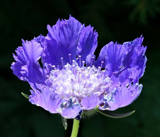 Scabiosa_Pincushion Flower_DBG-CO_LAH_7349