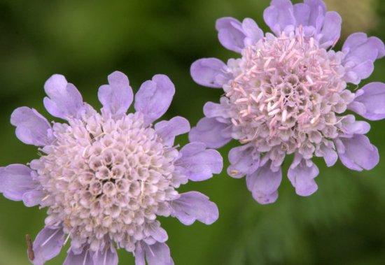 Scabiosa_Pincushion Flower_DBG_LAH_0745