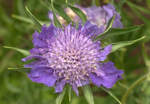 Scabiosa_Pincushion Flower_DBG_LAH_1063