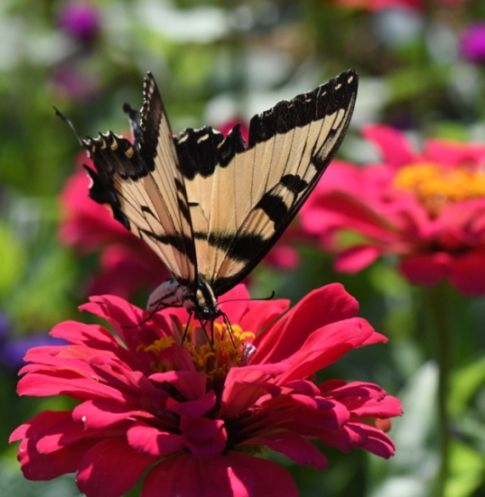 Swallowtail on zinnia