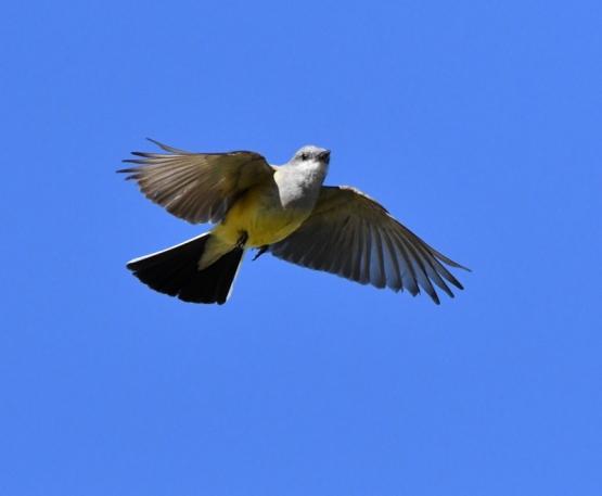 Western Kingbird_SE-EPC-CO_LAH_5294