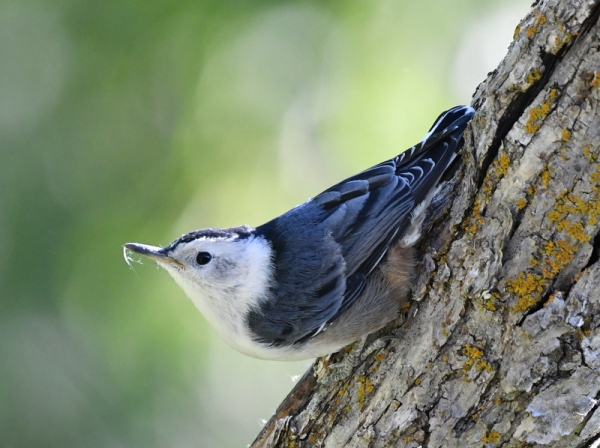 White-breasted Nuthatch_NCheyenneCyn-COS-CO_LAH_3625
