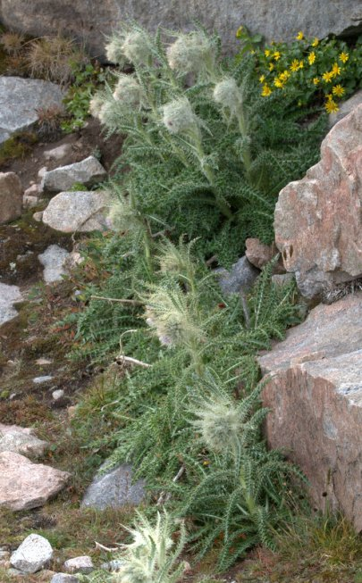 Wooly Thistle_MtEvans-CO_LAH_6934