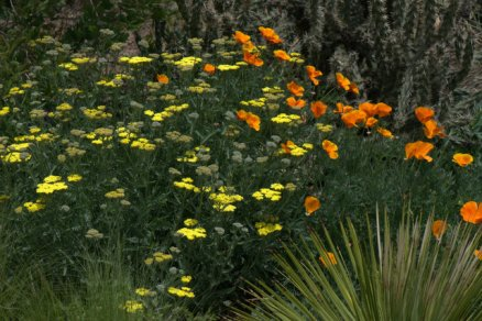 Yarrow with California Poppies