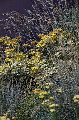 Yarrow (Achillea) in Blue Oat Grass (Helictotrichon sempervirens)
