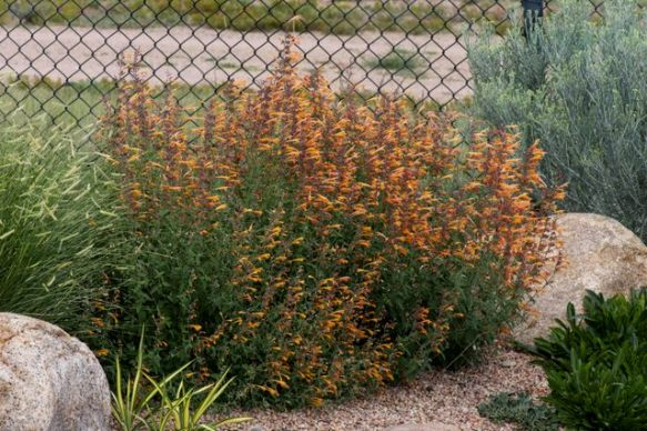 Agastache with blue grama grass 'Ambition' and dwarf rabbitbrush