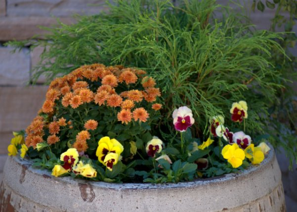 Mums & pansies at Denver Botanic Gardens