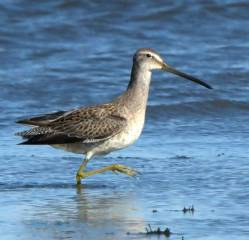 Dowitcher_RamahSWA-CO_LAH_8057f