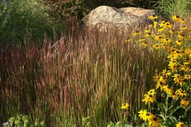 Red Baron Japanese Blood Grass (Imperata cylindrica) with Rudbeckia