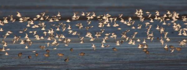 Least Sandpipers_Morro Bay-CA_LAH_7291