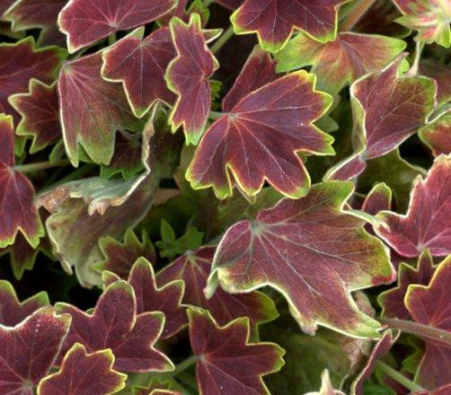 Pelargonium x hortorum - Geranium_DBG_20090915_LAH_0337