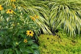 Rudbeckia, Japanese Forest Grass (Hakonechloa), and sedum