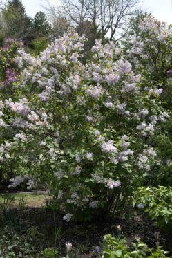 Syringa vulgaris_Lilac_DBG-CO_LAH_8723r