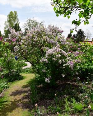 Syringa vulgaris_Lilac_DBG-CO_LAH_8725