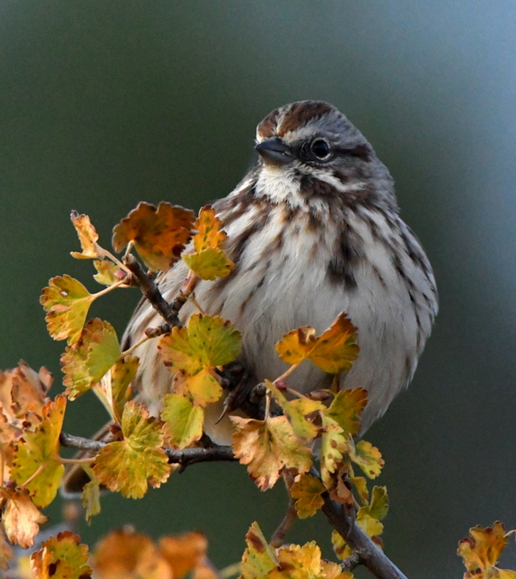 Song Sparrow_ManitouLake-CO_LAH_3379